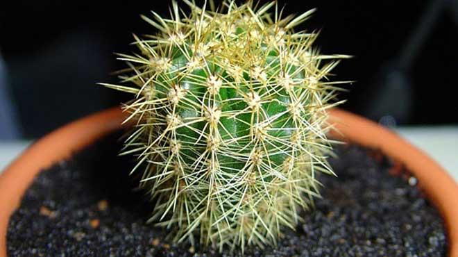 Молодой кактус в вазоне