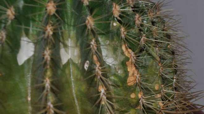 Болезнь, поразившая кактус