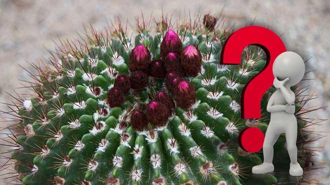 Озадаченный человечек - вид кактуса