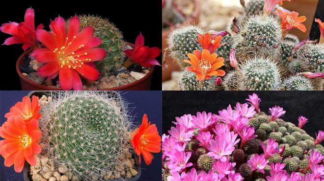 Виды кактуса Ребуция