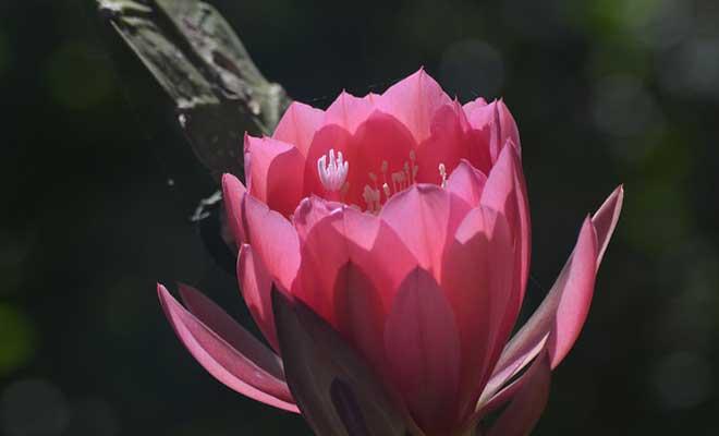 Цветок Эпифиллума на свету