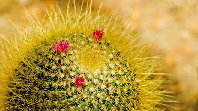 Цветущий кактус с длинными колючками