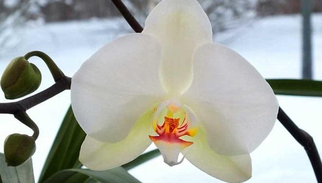 Цветение орхидеи зимой