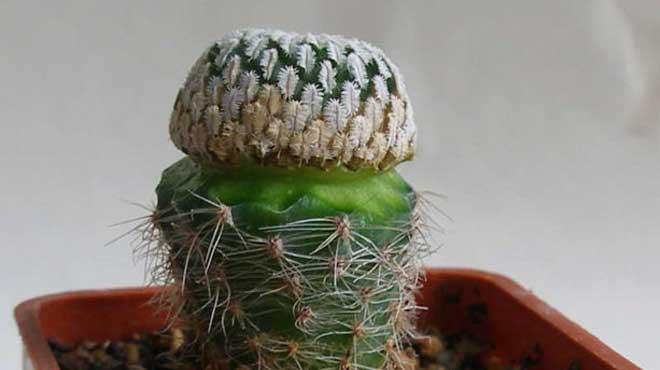 Привитый кактус