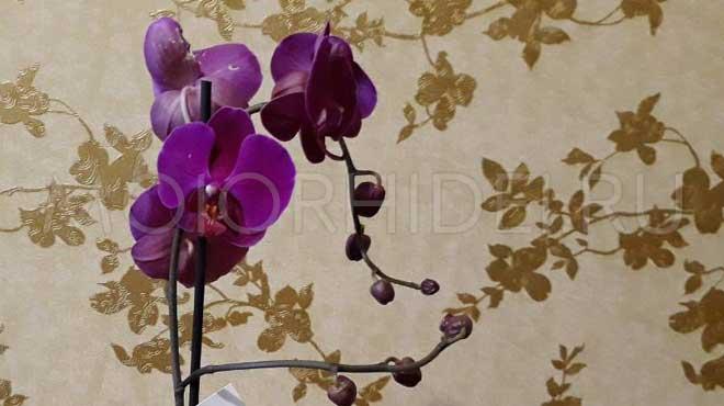 Орхидея бутоны и цвет