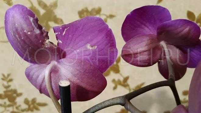 Поврежденные цветочки орхидеи