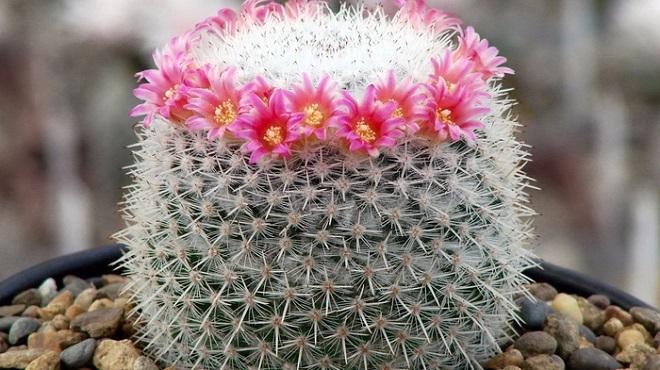 Цветущий кактус маммиллярия