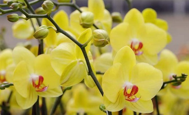 Желтая цветущая орхидея