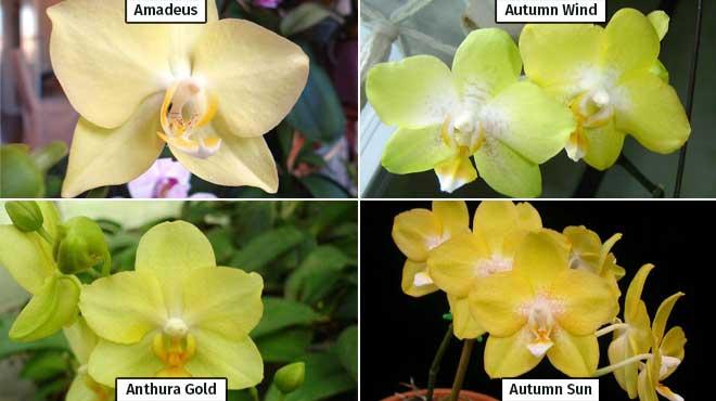 Виды желтой орхидеи