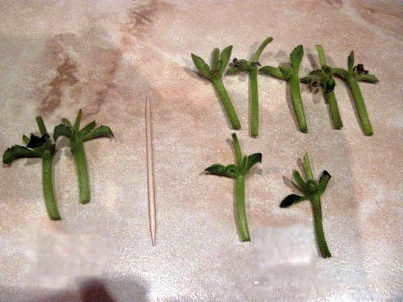 Укоренение фиалки цветоносами