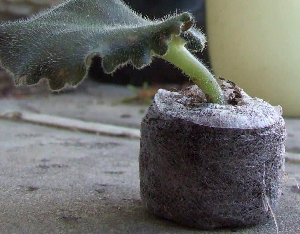 Укоренение фиалки в торфяной таблетке